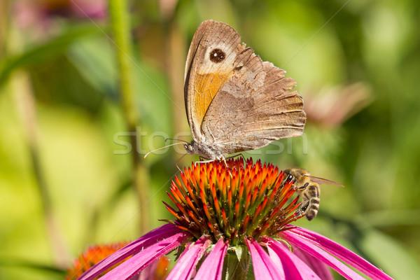 Farfalla ape fiore estate impianto Foto d'archivio © Grazvydas