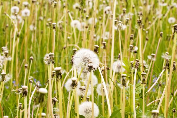 草原 フル ふわっとした タンポポ 夏 ストックフォト © Grazvydas