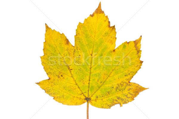 Rusty maple leaf as an autumn symbol Stock photo © Grazvydas