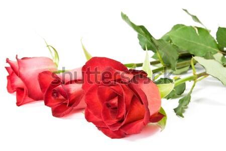 beautiful red rose  Stock photo © Grazvydas