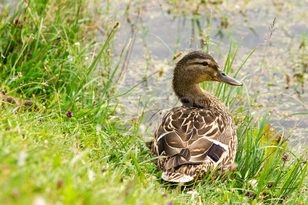 утки трава пруд Сток-фото © Grazvydas