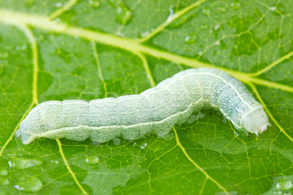 caterpillar crawling on a wet leaf Stock photo © Grazvydas