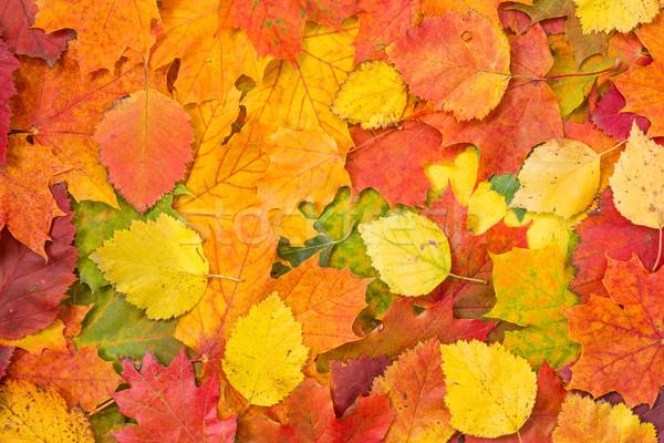 Background made of fallen autumn leaves  Stock photo © Grazvydas