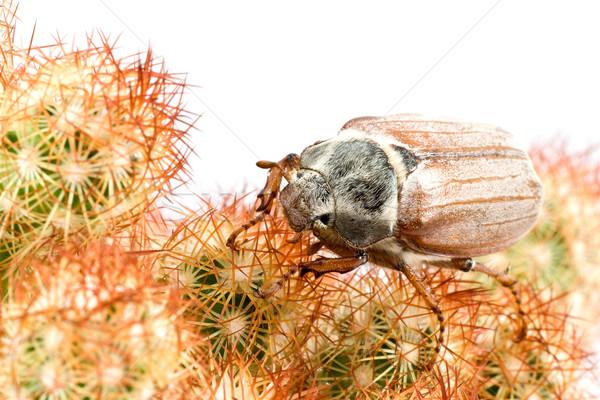 Tavasz bogár cserebogár kaktusz közelkép élet Stock fotó © Grazvydas