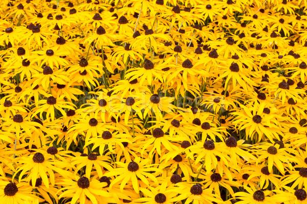 Black eyed susan plants  Stock photo © Grazvydas