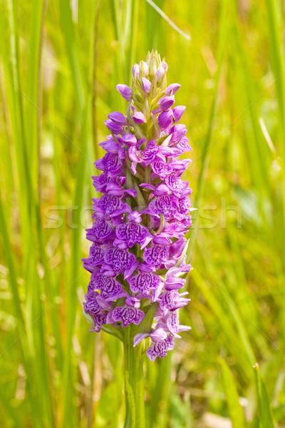 Violeta flor florescer belo verão prado Foto stock © Grazvydas