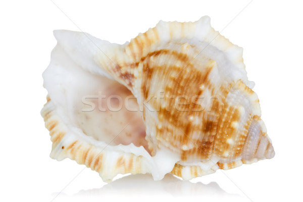 Sea shell with reflection on  a white  Stock photo © Grazvydas
