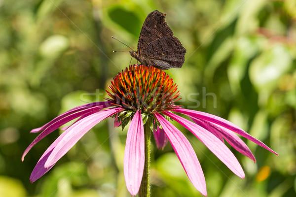 Borboleta flor-de-rosa jardim verão planta Foto stock © Grazvydas