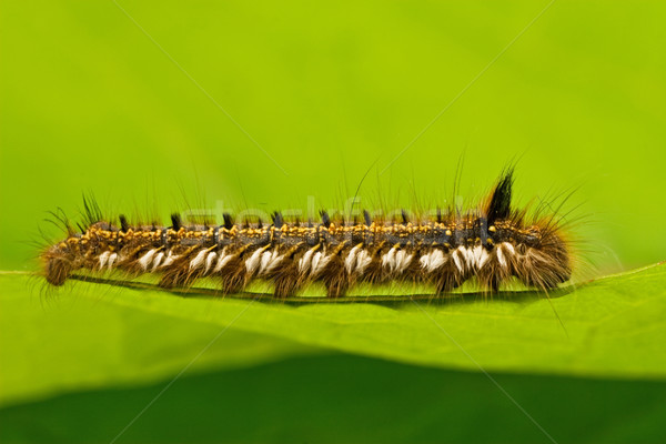 Haarig Raupe kriechen Blatt wenig green leaf Stock foto © Grazvydas