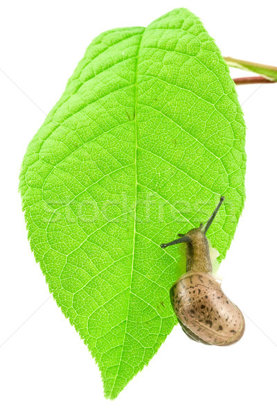 Naaktslak groene heldere blad slak Stockfoto © Grazvydas