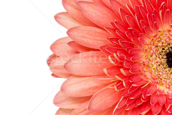 Kopie Raum weiß rot Blüte Blume Gänseblümchen Stock foto © Grazvydas