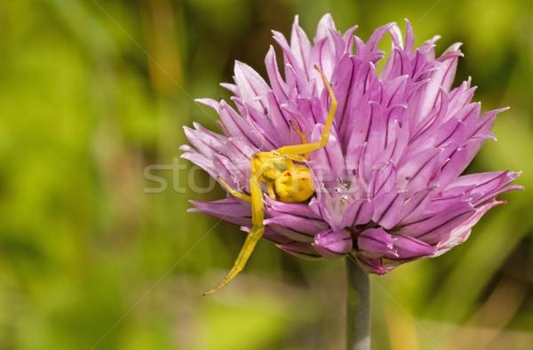 spider sitting on purple flower Stock photo © Grazvydas