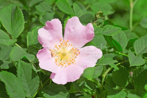Rosa flor florescer verão Foto stock © Grazvydas