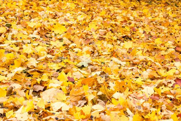 Carpet of fallen autumn foliage  Stock photo © Grazvydas