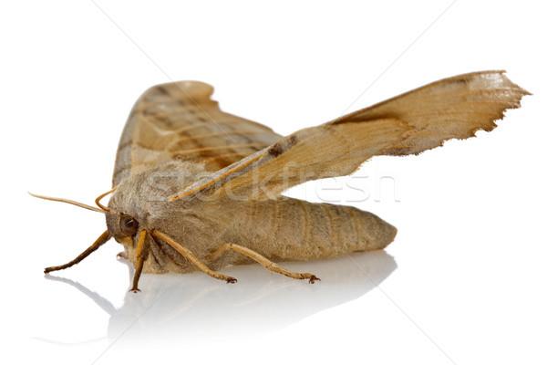 night butterfly on white background Stock photo © Grazvydas