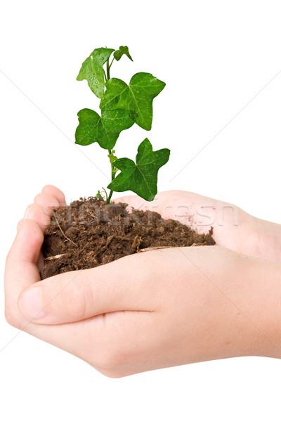 Green plant in the hands Stock photo © Grazvydas