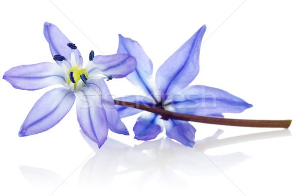 Blaue Blume Reflexion weiß Blume Frühling Schönheit Stock foto © Grazvydas
