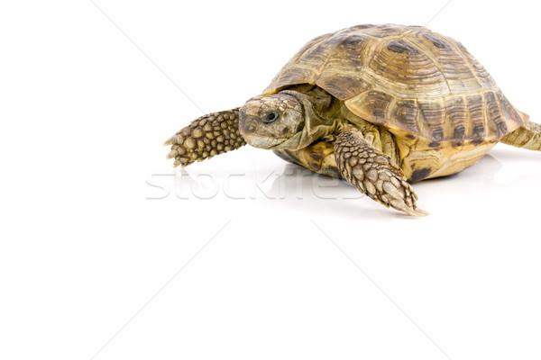 Terra tartaruga rastejar branco tartaruga animais de estimação Foto stock © Grazvydas
