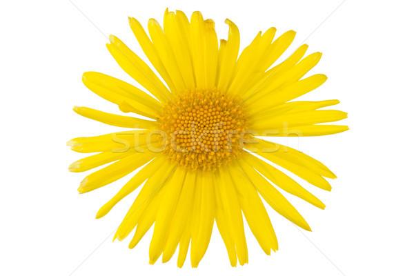 yellow daisy flower Stock photo © Grazvydas