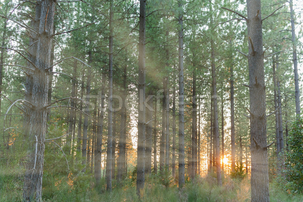 Sunlight Shinning Through the Trees Stock photo © gregorydean