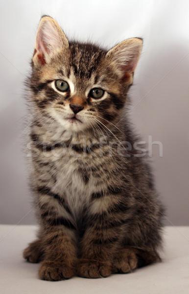 çok güzel kedi yavrusu bakıyor kamera kedi hayvan Stok fotoğraf © grivet