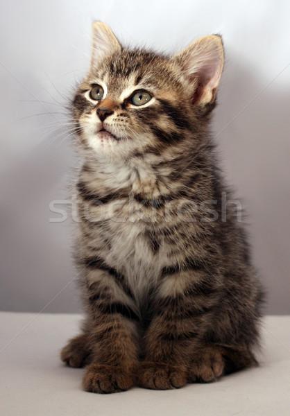 çok güzel kedi yavrusu kedi hayvan güzel güzel Stok fotoğraf © grivet
