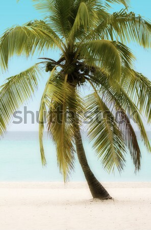 Palm Tree on a Beach Stock photo © grivet