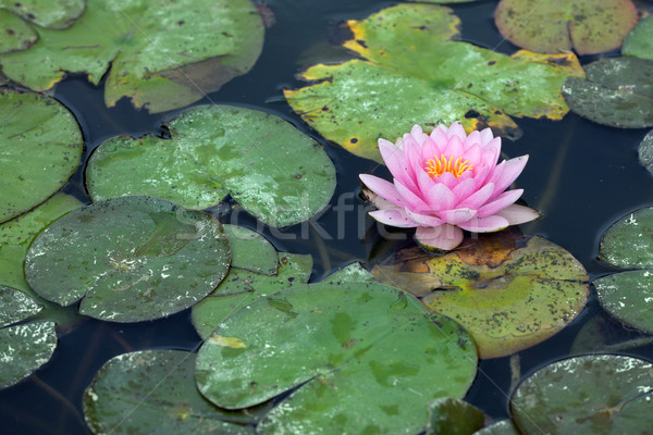 Water lilly infested with pest Stock photo © gsermek