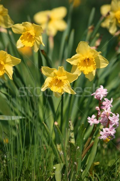 Gruppe Narzissen Natur Blume Familie Welt Stock foto © gsermek