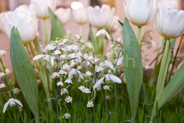 Lilies of the valley, tulips and snowdrops Stock photo © gsermek