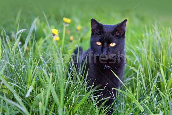 Fekete macska fű szemek haj zöld fekete Stock fotó © gsermek