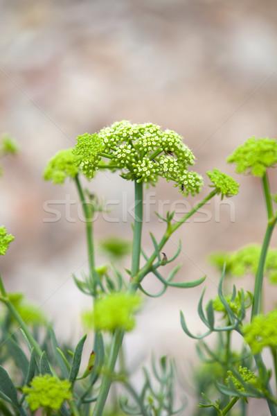 Crithmum maritimum known as samphire or sea fennel Stock photo © gsermek