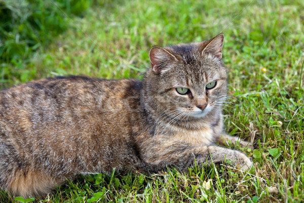 Gray female cat relaxing in the mowed grass Stock photo © gsermek