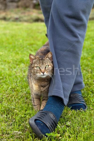Gray cat rubbing against female leg Stock photo © gsermek