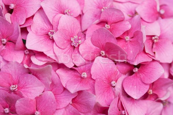 Pink hydrangea Stock photo © gsermek