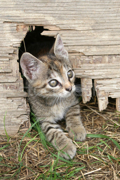 Faible chaton herbe yeux chat jouet Photo stock © gsermek