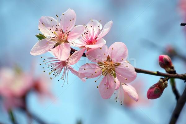 Fiore di ciliegio cielo blu albero primavera erba natura Foto d'archivio © gsermek