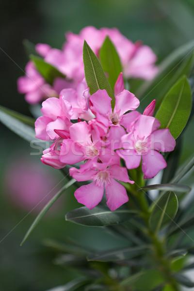 Pink oleander in blossom Stock photo © gsermek