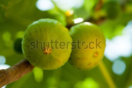 Green figs on the tree in a sunny day Stock photo © gsermek