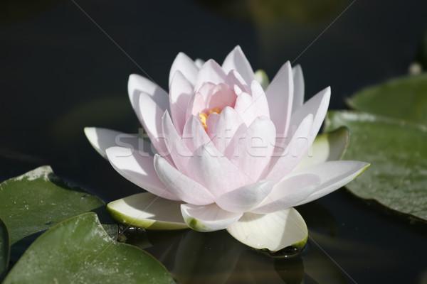 Deep pink Lilly flower  Stock photo © gsermek