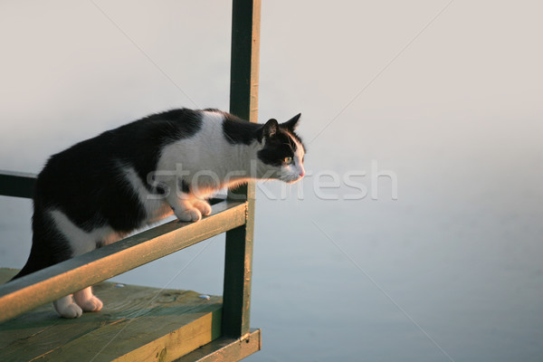 Black and white cat Stock photo © gsermek