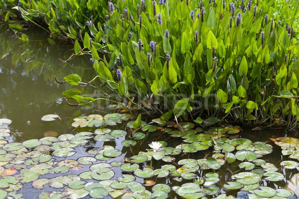 バイオレット 青 工場 成長 池 浅い ストックフォト © gsermek