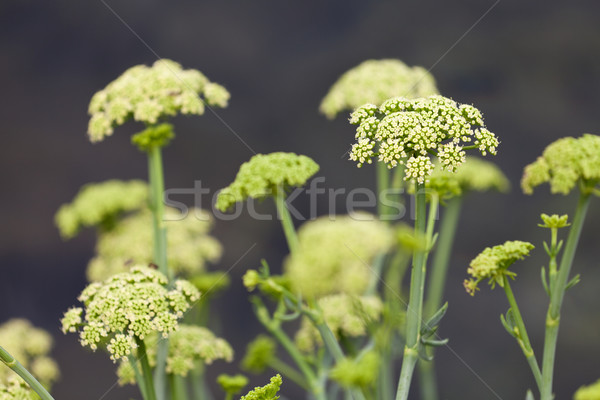 Mar funcho comestível planta Foto stock © gsermek