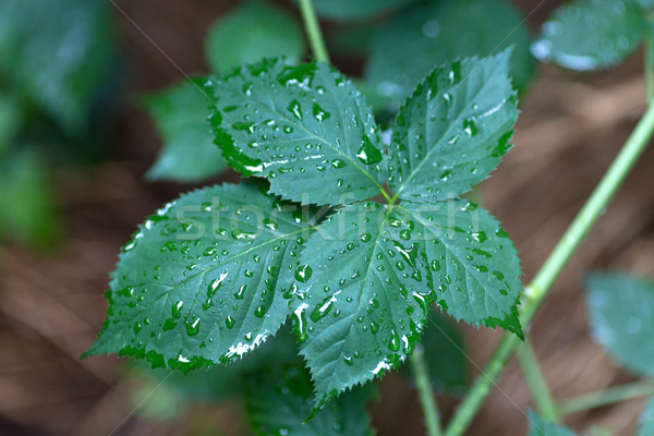 Blackberry leaf covered with water drops Stock photo © gsermek