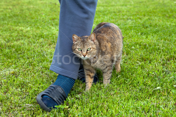 Gray cat rubbing against female leg Stock photo © gsermek