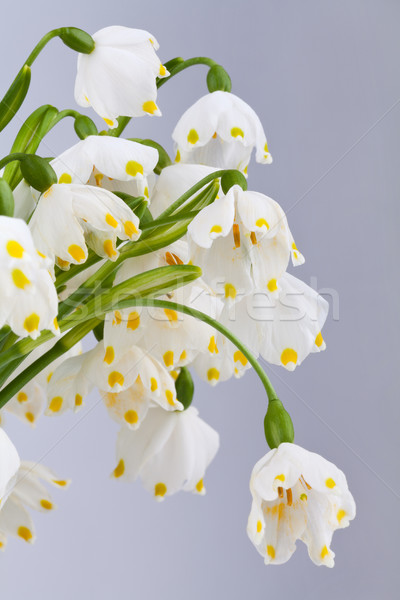Spring snowflake (Leucojum vernum) detail Stock photo © gsermek