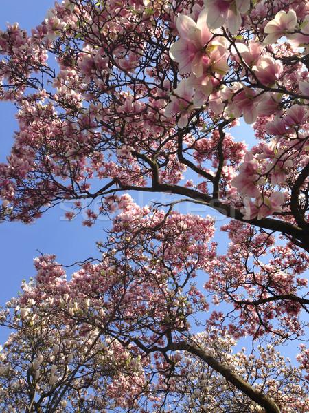 Magnolia árbol cielo azul cielo flor belleza Foto stock © gsermek