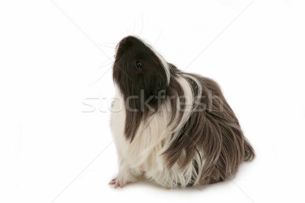 морская свинка молодые изолированный белый лист портрет Сток-фото © gsermek