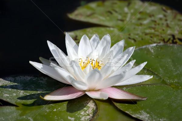 White Lilly flower  Stock photo © gsermek
