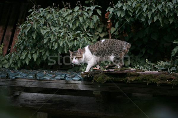Cat without tail Stock photo © gsermek